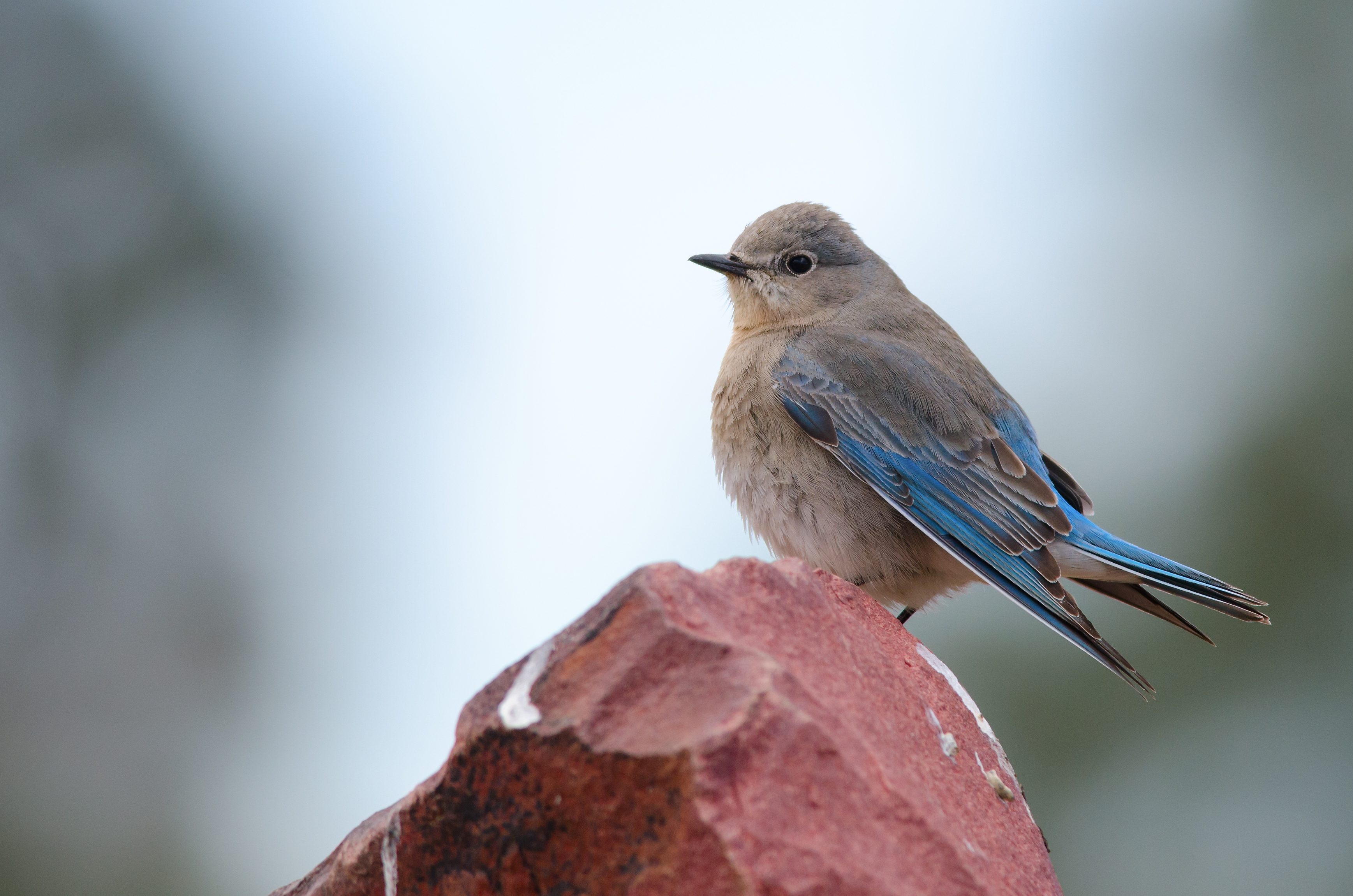 Mountain bluebird perched on stone. Official state bird of Idaho and Nevada.